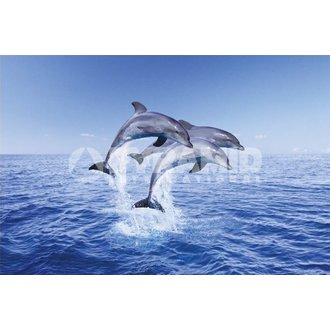 Poster Dolphin Trio - Pyramid Posters, PYRAMID POSTERS